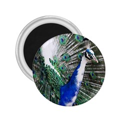 Animal Photography Peacock Bird 2 25  Magnets by Amaryn4rt