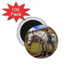 White Horse Tied Up At Cotopaxi National Park Ecuador 1 75  Magnets (100 Pack)  by dflcprints