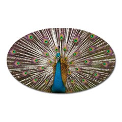 Indian Peacock Plumage Oval Magnet by Simbadda