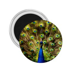 Peacock Bird 2 25  Magnets by Simbadda