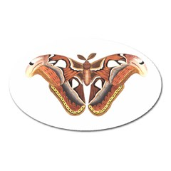 Butterfly Animal Insect Isolated Oval Magnet by Simbadda