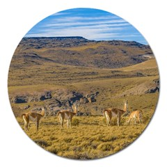 Group Of Vicunas At Patagonian Landscape, Argentina Magnet 5  (round) by dflcprints