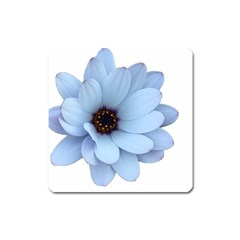 Daisy Flower Floral Plant Summer Square Magnet