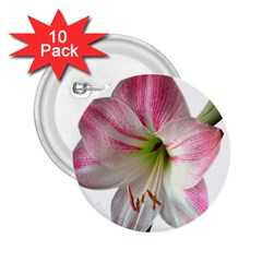 Flower Blossom Bloom Amaryllis 2 25  Buttons (10 Pack)