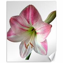 Flower Blossom Bloom Amaryllis Canvas 11  X 14   by Nexatart