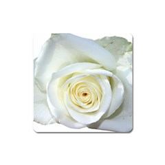 Flower White Rose Lying Square Magnet by Nexatart