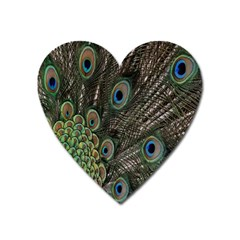 Close Up Of Peacock Feathers Heart Magnet by Nexatart