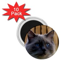 Ragdoll, Blue 1.75  Magnets (10 pack)  by TailWags
