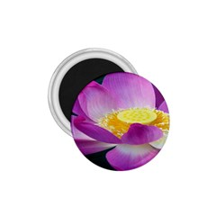 Pink Lotus Flower 1 75  Magnets by BangZart