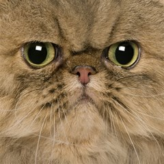 Cute Persian Catface In Closeup Magic Photo Cubes by BangZart