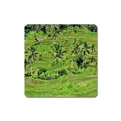 Greenery Paddy Fields Rice Crops Square Magnet by Nexatart