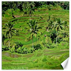 Greenery Paddy Fields Rice Crops Canvas 12  x 12