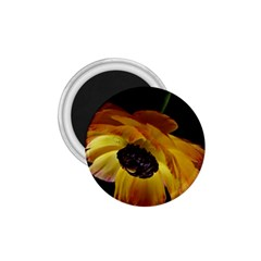Ranunculus Yellow Orange Blossom 1 75  Magnets by Nexatart