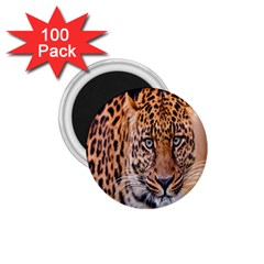 Tiger Beetle Lion Tiger Animals Leopard 1 75  Magnets (100 Pack)  by Mariart