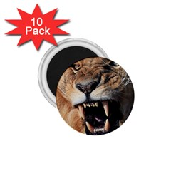 Male Lion Angry 1 75  Magnets (10 Pack)  by Celenk