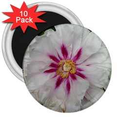 Floral Soft Pink Flower Photography Peony Rose 3  Magnets (10 Pack)  by yoursparklingshop