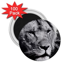 Africa Lion Male Closeup Macro 2 25  Magnets (100 Pack)  by BangZart