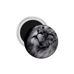 Feline Lion Tawny African Zoo 1 75  Magnets