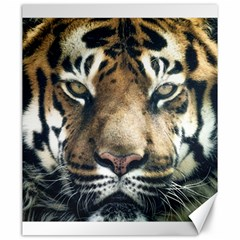 Tiger Bengal Stripes Eyes Close Canvas 20  X 24
