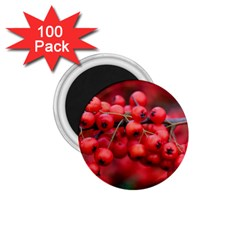 Red Berries 1 1 75  Magnets (100 Pack)  by trendistuff