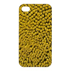 Sunflower Head (helianthus Annuus) Hungary Felsotold Apple Iphone 4/4s Hardshell Case