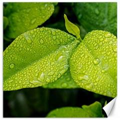 Leaf Green Foliage Green Leaves Canvas 12  X 12   by Simbadda