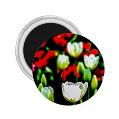 White And Red Sunlit Tulips 2 25  Magnets