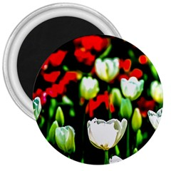 White And Red Sunlit Tulips 3  Magnets
