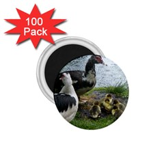 Muscovy Family 1 75  Magnets (100 Pack)