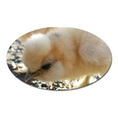 Silkie Chick  Oval Magnet