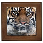 Indian_Tiger Framed Tile