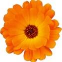 Orange-Flwr