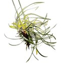 grasssprout