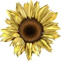 moo_summersend_sunflower