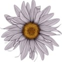 moo_frosted_sunflower1