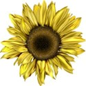 moo_funandfancyfree_sunflower