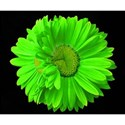 DSC_0310-liimegreenflower