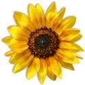 SUNFLOWER2S_mikkilivanos