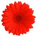 GerberDaisy red