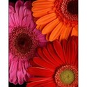 Three-Gerbera-Daisies-4x5-D