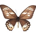 Sweet Sister_butterfly brown