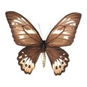 Sweet Sister_butterfly brown 2