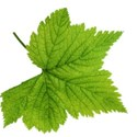 leaf 27