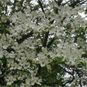 white dogwood background