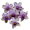 african violets copy