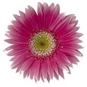 pink_gerber_daisy_picasso_3001