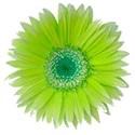 yellow_daisy