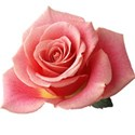 Pink rose No stem