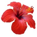tropical bloom red