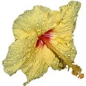 IMG_4112 hibiscus2 good